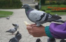 Free Pigeon On The Hand Royalty Free Stock Photos - 6427078