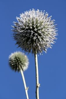 Free Thistle Royalty Free Stock Images - 6427129