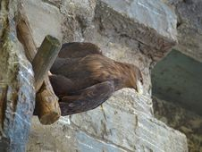 The Brown Eagle Stock Images