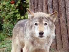 Wolf Grey Or Ordinary Canis Lupus Stock Images