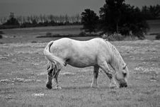 Free White Arab Horse Grazing Stock Photos - 6427633