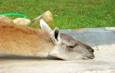 Free Llama Lama Guanacoe Royalty Free Stock Images - 6427739