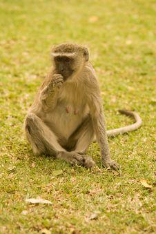 Free Ververt Monkey Royalty Free Stock Photo - 6428175