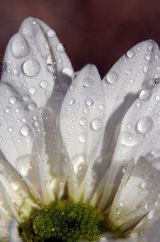 Free Daisy Stock Image - 6428301
