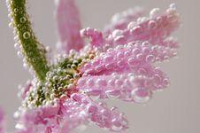 Free Pink Gerbera Royalty Free Stock Image - 6428636