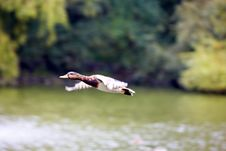 Mallard Flying Over The Pond Royalty Free Stock Image