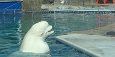 Free White Whale Delphinapterus Leucas Royalty Free Stock Images - 6428779