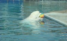 Free White Whale Delphinapterus Leucas Stock Images - 6429004