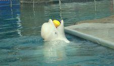 Free White Whale Delphinapterus Leucas Stock Photography - 6429242
