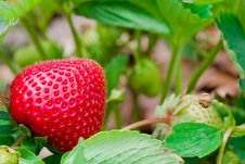 Free Delicious Strawberry Royalty Free Stock Photo - 6429395