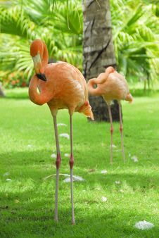 Free Flamingos Royalty Free Stock Photo - 6429515