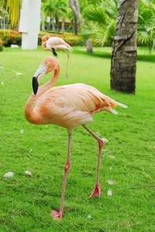 Free Pink Flamingos Royalty Free Stock Photo - 6429555