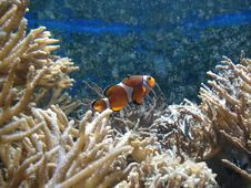 Free Clown Fish Royalty Free Stock Photography - 6429637