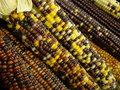Free Indian Corn Royalty Free Stock Image - 6430436