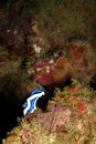 Free Nudibranch Royalty Free Stock Photography - 6431937