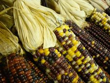 Free Indian Corn Royalty Free Stock Photos - 6430478