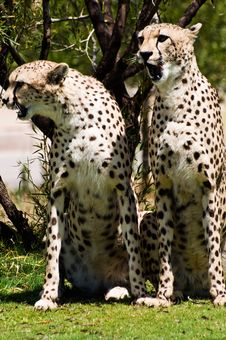 Free Two Cheetahs Stock Photography - 6430582
