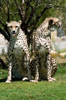 Free Two Cheetahs Royalty Free Stock Photography - 6430667