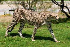 Free Cheetah Royalty Free Stock Photos - 6430838
