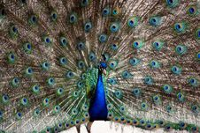 Free Peacock Royalty Free Stock Images - 6431359