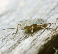 Free Shield Bug Macro Front Royalty Free Stock Photography - 6431397