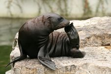Free Baby Sea-lion Stock Photos - 6433293