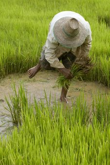 Free Work On The Paddy-field In Asia Royalty Free Stock Images - 6433829