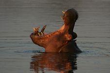 Free Hippopotamus Royalty Free Stock Photos - 6434758