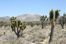 Free Joshua Trees In Mojave Desert Stock Photo - 6435420