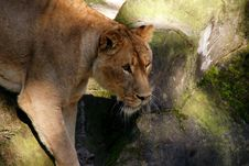 Very Focussed Lioness Royalty Free Stock Photography