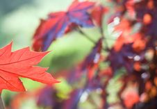 Free Red Maple Leaf Royalty Free Stock Photos - 6436028