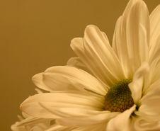 Free Daisy Side-Up Royalty Free Stock Photo - 6437145