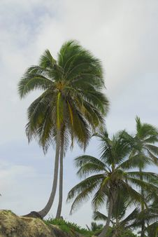 Free Coconut Trees On The Beach Stock Photography - 6437372