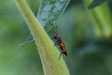 Free Milkweed Bug Royalty Free Stock Photo - 6437685