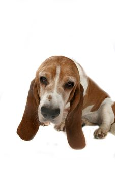 Basset Hound S Long Ears And Head Stock Photography