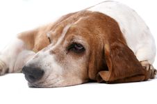 Free Selective Focus Of Basset Hound Face And Nose Royalty Free Stock Photo - 6437705