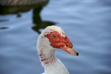 Muscovy Red Faced Duck Stock Image