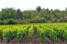 Panoramic View Of A Vineyard Royalty Free Stock Photos