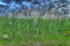 Free Silver Grass Royalty Free Stock Photography - 6438637
