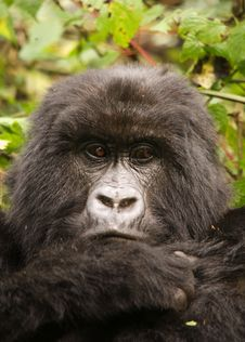 Free Group 13 Female Mountain Gorilla Stock Photos - 6438933