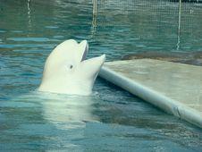 Free White Whale Delphinapterus Leucas Stock Images - 6439684