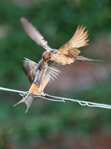 Feeding Young Swallow Stock Images