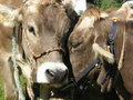 Free Two Shy Cows Stock Photography - 6443972