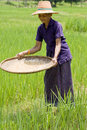 Free Old Asian Women Sifts Rice At The Rice-field Royalty Free Stock Photo - 6447885