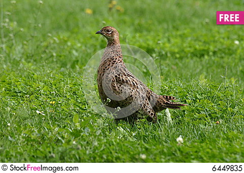 Young Pheasant - Free ...