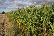 Free Corn Stock Photo - 6440680
