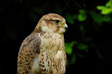 Free Falcon Royalty Free Stock Images - 6440879