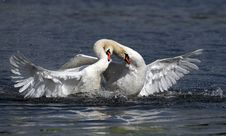 Free White Swans Stock Photo - 6440960