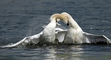 Free White Swans Royalty Free Stock Photos - 6441138