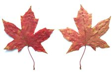 Free Maple Leaf Stock Image - 6441791